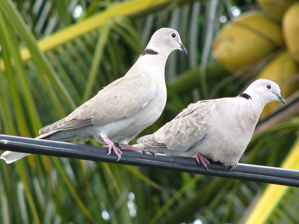 Eurasian Collared Doves Conquering America Project Feederwatch Blog