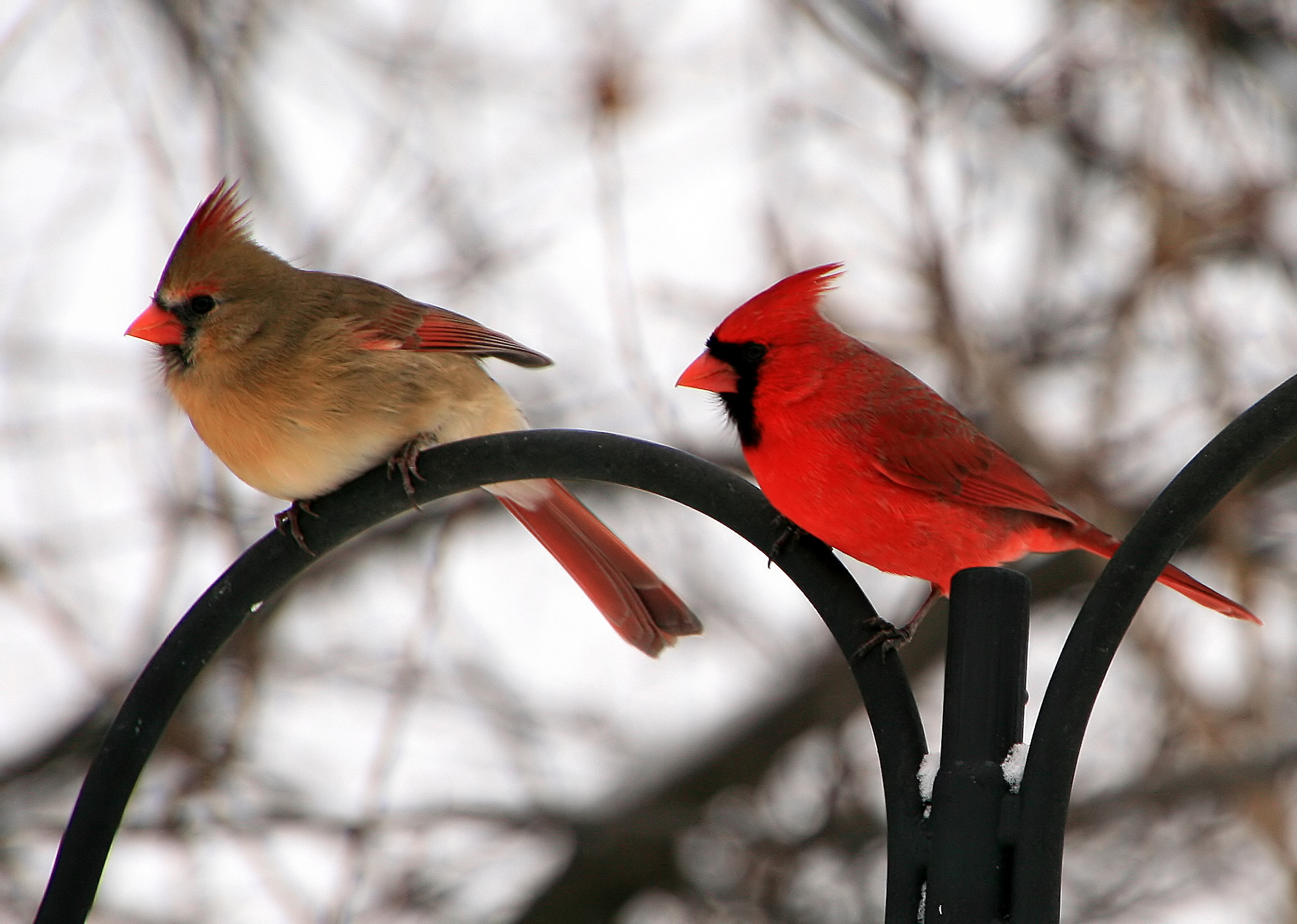 Female and male Northern Cardinals by Robert Williams Huntley IL