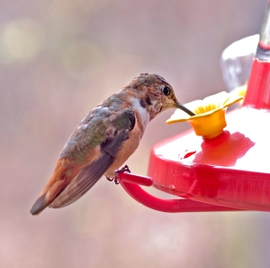 Female Rufous Hummingbird at feeder.