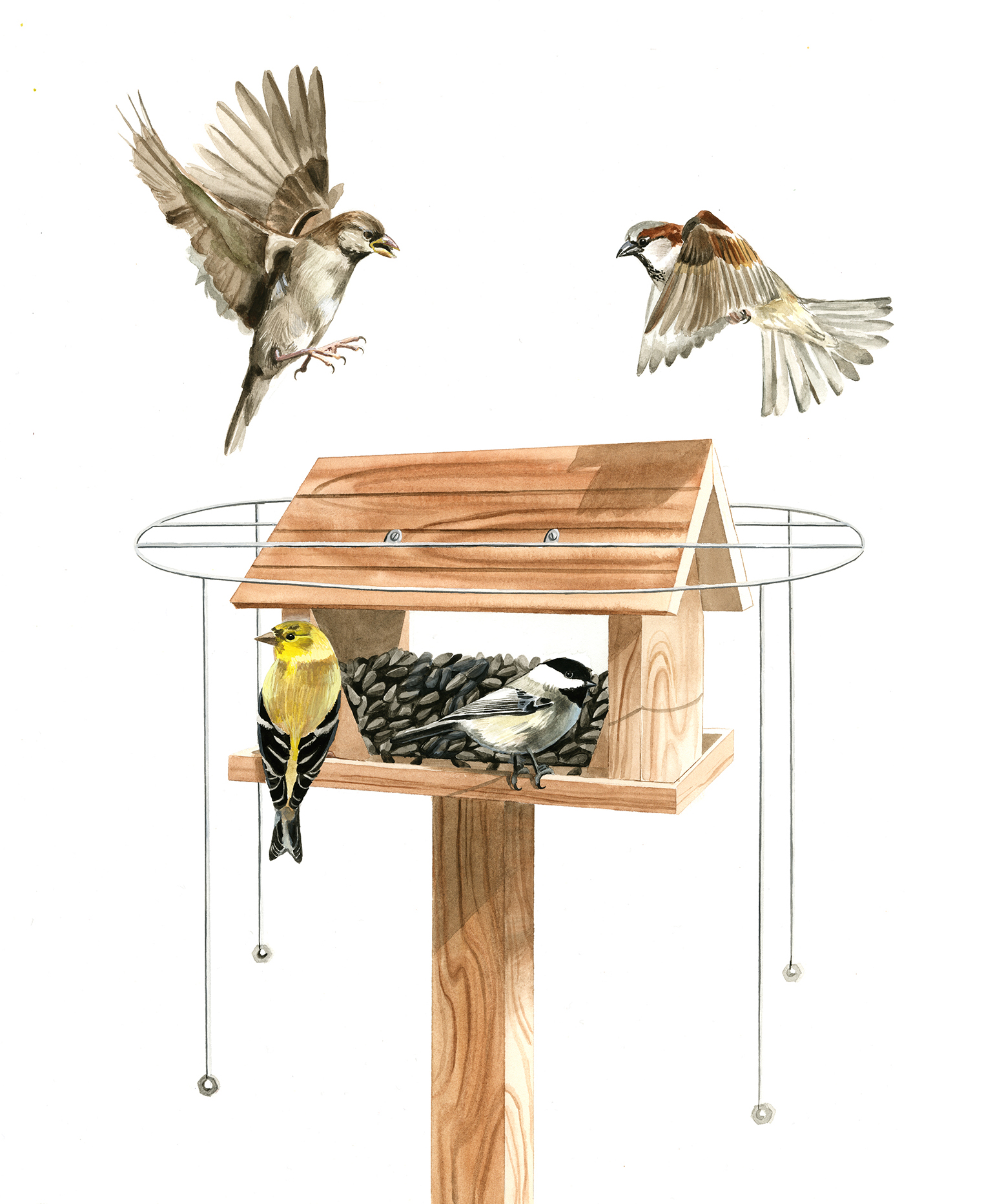 Do Feeder Halos Keep House Sparrows At Bay Project Feederwatch Blog Wiring A Homework Hopper