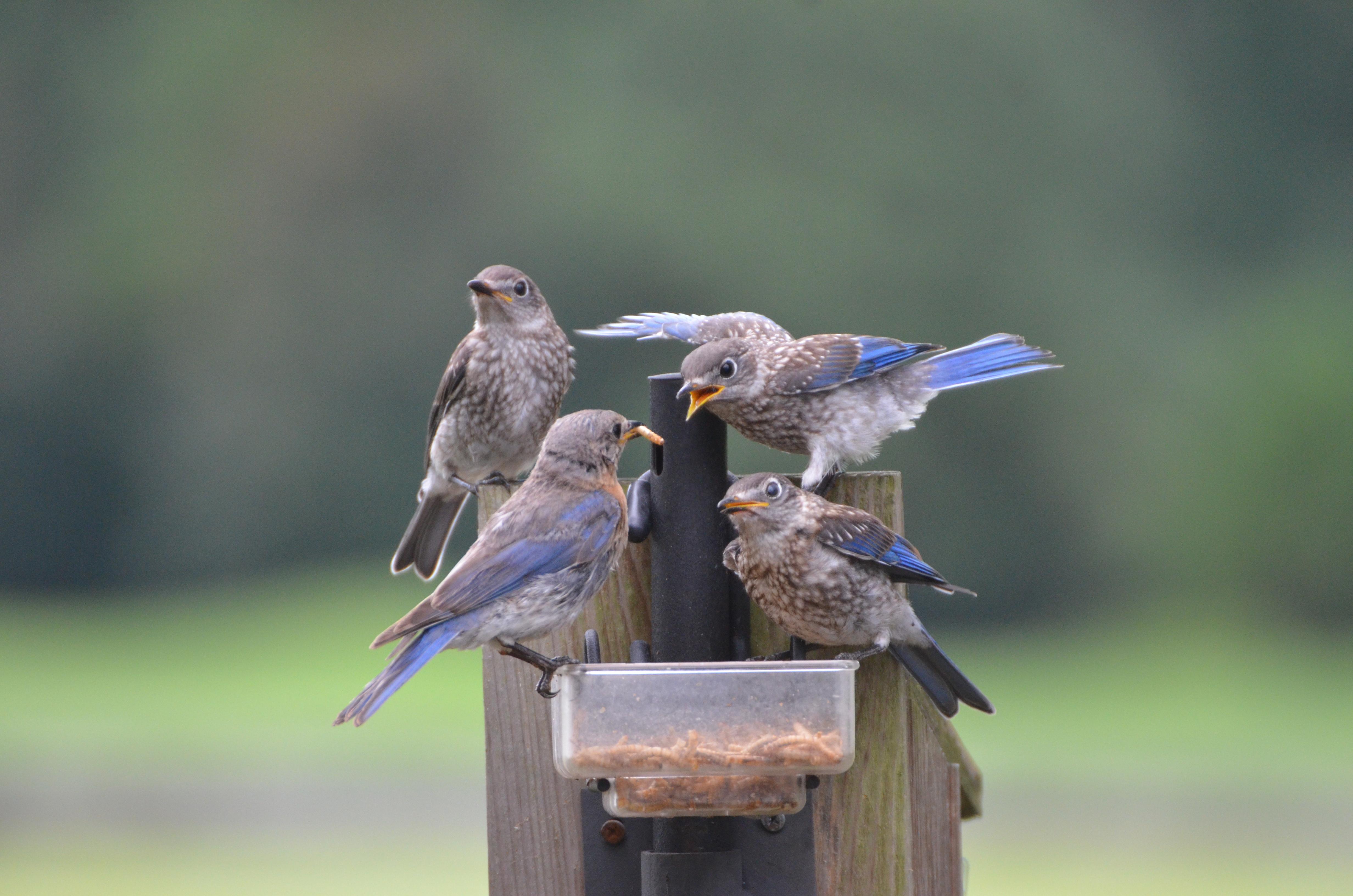 stock hanging video fat blue videoblocks feeders bird at feeder balls from footage tit british pecking a