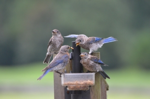 POam Monahan submitted the winning photo of an Eastern Bluebird family enjoying her mealworm feeder.