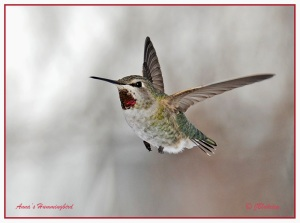 Anna's Hummingbird by Judith Blakeley of Newfoundland, Canada