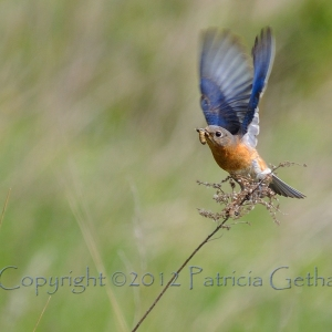 Eastern Bluebird by Patricia Getha of Delaware, Ohio
