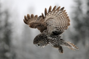 Great Gray Owl by Ron Kube  of Water Valley, Alberta, Canada