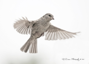 Female House Sparrow by Ryan Courson of Toronto, Ontario, Canada
