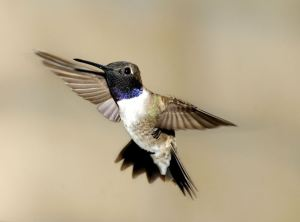 Black-chinned Hummingbird by FeederWatcher Sam Wilson of Scottsdale, Arizona