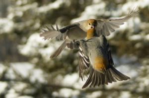 Pine Grosbeaks by Susan Fagan of Dorion, Ontario, Canada
