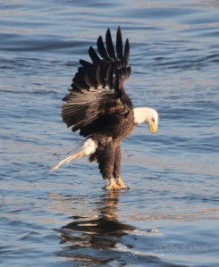 Debi Rabin won Week 6 with this photo of a Bald Eagle at Conowingo Dam in MD.