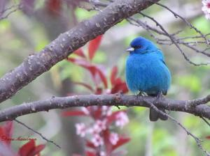 This Indigo Bunting photo by Diane Marshman won week 8 of the BirdSpotter photo contest.
