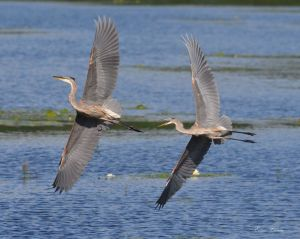 Eileen Chorba submitted this winning photo of a pair of Great Blue Herons in flight in Promised Land, PA.