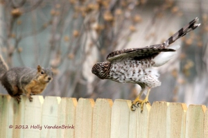 Holly VandenBrink caught this brief interaction between squirrel and Cooper's Hawk.