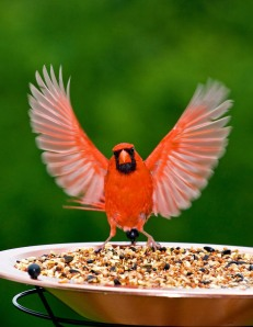 Tyler Smith of Dallas, TX capture this winning photo of a male Northern Cardinal at his feeder
