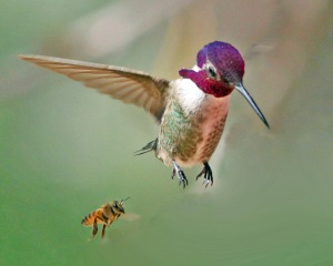 Gary Rasmussen caught this chance moment between a Costa's Hummingbird and a honey bee.