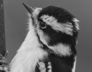 Black and white - a winning Downy Woodpecker by Laurie Salzler