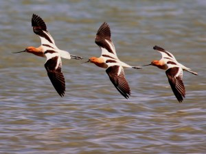 Robert Martinez captured this winning shot of three American Avocets in flight