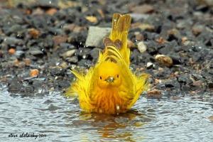 A Yellow Warbler enjoying a bath by Steve Shelasky
