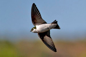 Violet-green Swallow by Rhys Marsh