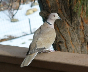Eurasian Collared-Dove by FeederWatcher Patricia Jones-Mestas of Parker, CO.